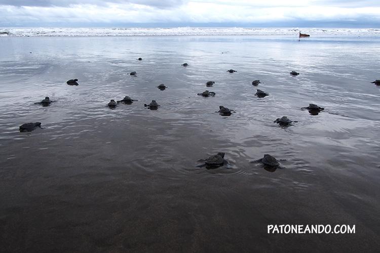 Tortugas-marinas-del-Pacífico-Patoneando-blog-de-viaje-Chocó.jpg