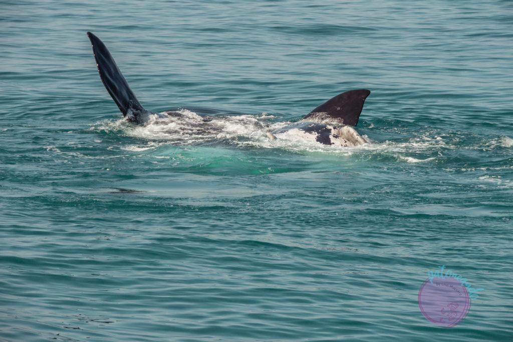 Que ver en ciudad del cabo - guia - Ballenas en Hermanus - Patoneando blog de viajes (23)