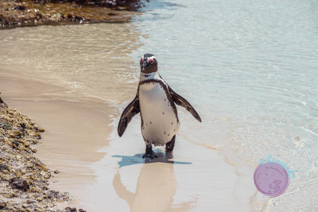 Que ver en ciudad del cabo - guia - Boulders beach ciudad del cabo - Patoneando blog de viajes (4)